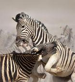 Zebry, walki — Zdjęcie stockowe