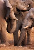 Elephants drink — Stock Photo