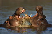 Fighting Hippo's — Stock Photo