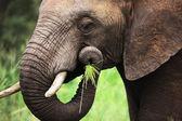 Elephant eating close-up — Stock Photo