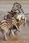 Zebras fighting — Stock Photo