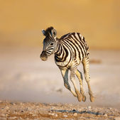 Baby zebra running — Stock Photo