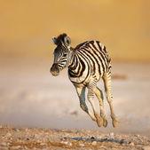 Dziecko zebra uruchomiony — Zdjęcie stockowe