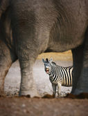Zebra barking — Stock Photo