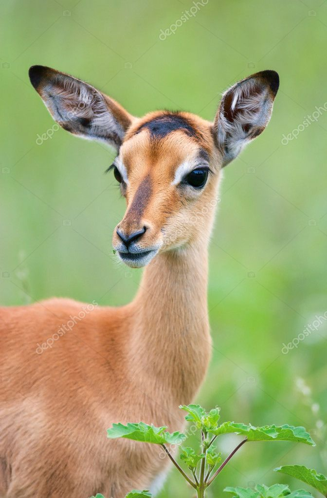 Young impala with attentive pose; Aepyceros melampus; South Africa — Stock Photo #3971785