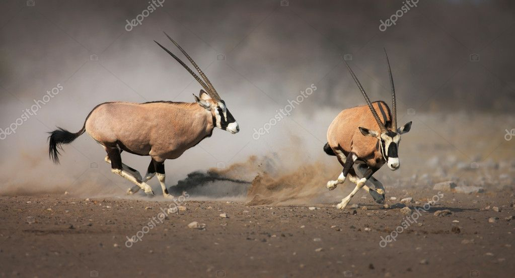 Aggressive antelope chase looser after a fight; Etosha — Stock Photo #3972768