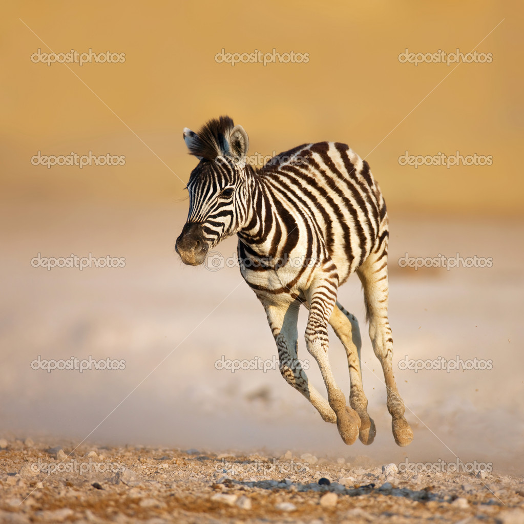 Close-up of a young zebra running on rocky plains of Etosha  Stock Photo #3974317
