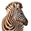 Zebra portrait isolated — Stock Photo