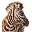 Zebra portrait isolated - Stock Photo
