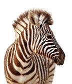 Zebra portrait isolated — Stock Photo
