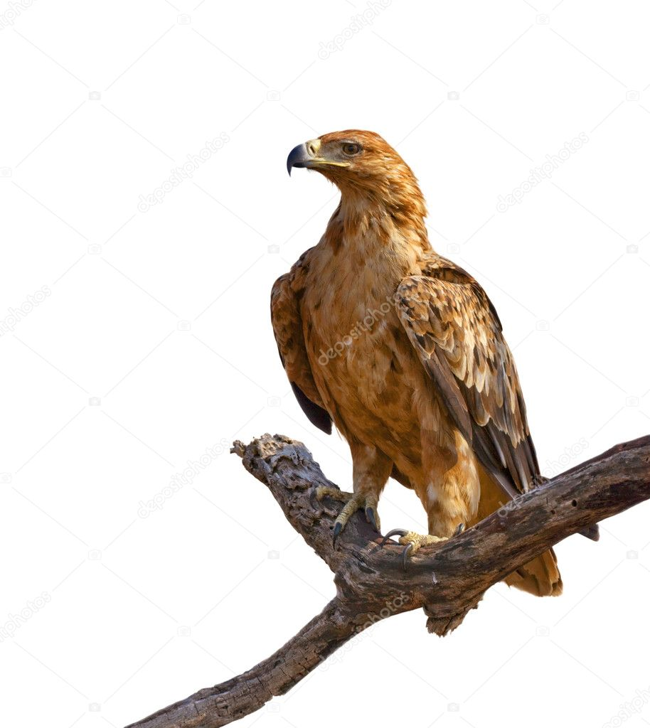 Tawny Eagle and tree branch isolated on white background  Stock Photo #4224409