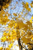 Maple tree in autumn colors — Stock Photo