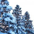 Winter snow covered fir trees — Stock Photo #4669459