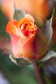 Orange rose bud — Stock Photo