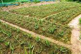 Aloe Farm — Stock Photo