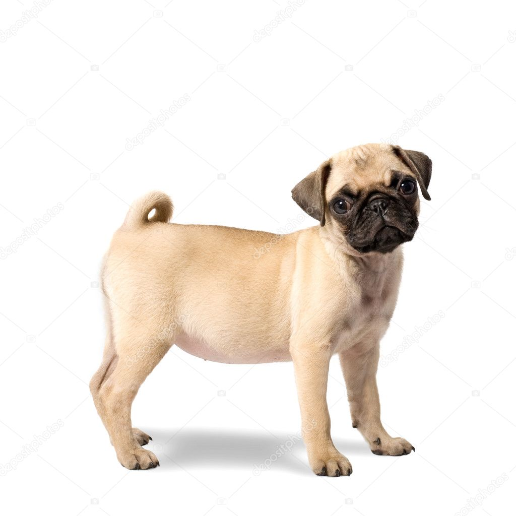 Cute Pug Puppy Isolated on White Background — Foto de Stock   #4616609