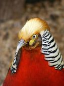 Red Golden Pheasant — Stock Photo