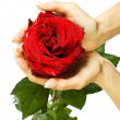 Red rose in female hands — Stock Photo #4926406