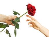 Red rose in female and man's hands — Stock Photo