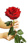 Red rose in female hands — Stock Photo
