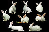 White rabbit on a black background — Stock Photo