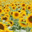 Sun flower field — Stock Photo