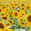 Stock Photo: Sun flower field