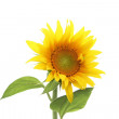 Stock Photo: Isolated sun flower