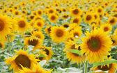 Sun flower field — Stock Photo