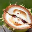 Chestnut — Stock Photo #3967058