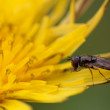 hoverfly — Stock Photo