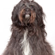 Stock Photo: Tibetterrier