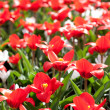 Stock Photo: Many red tulips in the sunlight