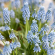Muscari botryoides flowers in springtime — Foto Stock