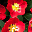 Red tulips in the sunlight — Stock Photo