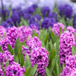 Hyacinth flowers in the sunlight — Foto Stock