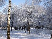 Winter Tree Birch — Stock Photo
