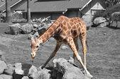 Giraffe Eating — Photo