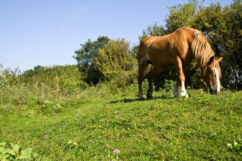 Grazing horse on the field  Stock Photo #4119386