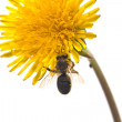 Dandelion is in pollen - Stock Photo
