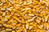Grains of corn — Stock Photo