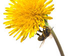 Bee on pollination — Stock Photo