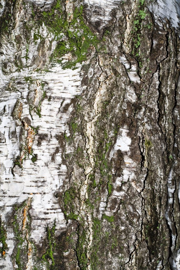 Type of birch bark in gloomy weather — Stock Photo #4127261