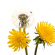 Dandelions — Stock Photo #4147745