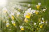 Anbud fältet blomma — Stockfoto