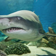 Stock Photo: Ragged tooth shark in aquarium