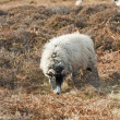 Sheep grazing on moorland — Stock Photo