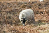 Sheep grazing on moorland — Stock Photo