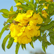 Yellow flowers on a blue background — ストック写真