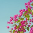 Bougainvillea bush against blue background - Stock Photo